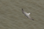 Adult Peregrine Falcon (Falco peregrinus) in flight over the Hudson River in late March. New Jersey.