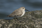 Dunlin (Calidris alpina) in late March.