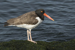 American Oystercatcher (Haematopus palliatus) in late March.