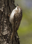 Brown Creeper (Certhia americana) on Black Cherry (Prunus serotina) bark in mid-April on spring migration.