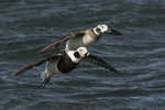 Male and female Long-tailed Ducks (Clangula hyemalis) in flight, female above, male below, in late March.