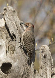 Male Northern flicker (Colaptes auratus) in mid-April. Summer House, Central Park. New York, NY.