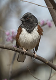Male Eastern Towhee (Pipilo erythrophthalmus) in mid-April on spring migration.