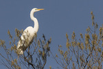 Great Egret (Ardea alba) in breeding plumage in mid-April.
