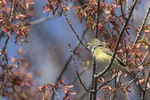 White-eyed Vireo (Vireo griseus) singing in mid-April on spring migration.