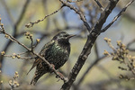 European Starling (Sturnus vulgaris) in mid-April.