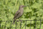 Juvenile European Starling (Sturnus vulgaris) perched on a fence next to Mile-a-minute Vine (Persicaria perfoliata) in mid-June.