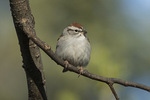 Chipping Sparrow (Spizella passerina) in late April on spring migration.