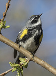 Male Yellow-rumped Warbler (Setophaga coronata) in late April on spring migration.