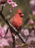 Male Northern Cardinal (Cardinalis cardinalis) in flowering cherry in late April.