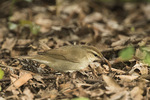 Swainson's Warbler (Limnothlypis swainsonii) in late April. Strawberry Fields, Central Park. New York, NY. April 28, 2016. Very rare in New York State.