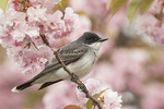 Male Eastern Kingbird (Tyrannus tyrannus) in flowering cherry in late April.