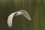 Adult Black-crowned Night-Heron (Nycticorax nycticorax) in flight in late April.
