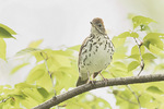 Wood Thrush (Hilocichla mustelina) in late April.