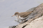 First-cycle (second-year) Spotted Sandpiper (Actitis macularius) in breeding plumage in late April on spring migration.