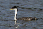 Western Grebe (Aechmophorus occidentalis) in mid-July.