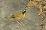 Male Common Yellowthroat (Geothlypis trichas) in mid-May on spring migration.