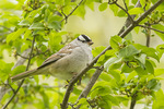 Adult White-crowned Sparrow (Zonotrichia leucophrys) in early May on spring migration.