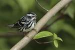 Male Black-and-white Warbler (Mniotilta varia) in late May on spring migration.