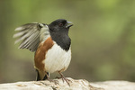 Male Eastern Towhee (Pipilo erythrophthalmus) flutters his wings while singing in late May on spring migration.