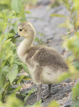 Canada Goose (Branta canadensis) gosling in late May.