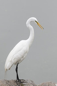 Great Egret (Ardea alba) in late May.