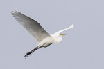 Great Egret (Ardea alba) in flight in late May.