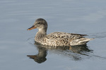 Female Gadwall (Mareca strepera) in late May.