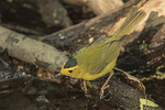 Male Wilson's Warbler (Cardellina pusilla) in mid-May on spring migration.