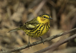 First-spring male Cape May Warbler (Setophaga tigrina) in mid-May on spring migration.