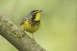 Adult male Canada Warbler (Cardellina canadensis) in mid-May on spring migration.
