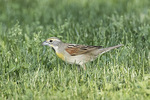 First-spring male Dickcissel (Spiza americana) in late May.