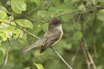 Eastern Phoebe (Sayornis phoebe) in early June.