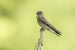 Northern Rough-winged Swallow (Stelgidopteryx serripennis) in early June.