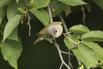 Red-eyed Vireo (Vireo olivaceus) in early June.