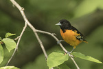 Adult male Baltimore Oriole (Icterus galbula) in early June.