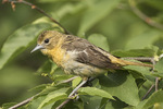First-summer female Baltimore Oriole (Icterus galbula) in early June.