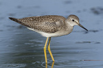 Juvenile Lesser Yellowlegs (Tringa flavipes) in mid-August on fall migration.