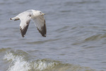 Second-cycle Ring-billed Gull (Larus delawarensis) in flight in mid-April.