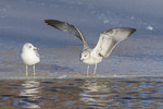 Adult (at left) and first-cycle Ring-billed Gulls (Larus delawarensis) in mid-Feburary.