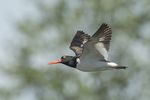 American Oystercatcher (Haematopus palliatus) in flight in mid-June.