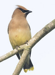 Cedar Waxwing (Bombycilla cedrorum) in early June.