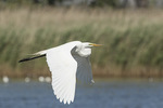Great Egret (Ardea alba) in flight in mid-June.