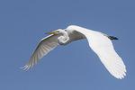 Great Egret (Ardea alba) in flight in mid-June.