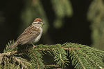Chipping Sparrow (Spizella passerina) in mid-June.
