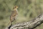 Saltmarsh Sparrow (Ammodramus caudacutus) in a salt marsh in mid-June.