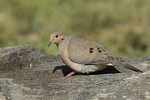 Adult Mourning Dove (Zenaida macroura) in mid-June.