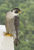 Adult female Peregrine Falcon (Falco peregrinus) perched near the nest in mid-June.