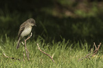 Juvenile Eastern Phoebe (Sayornis phoebe) in late June.