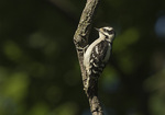 Immature Downy Woodpecker (Picoides pubescens) in late June.